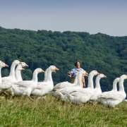 Goodman's Geese - Judy Goodman