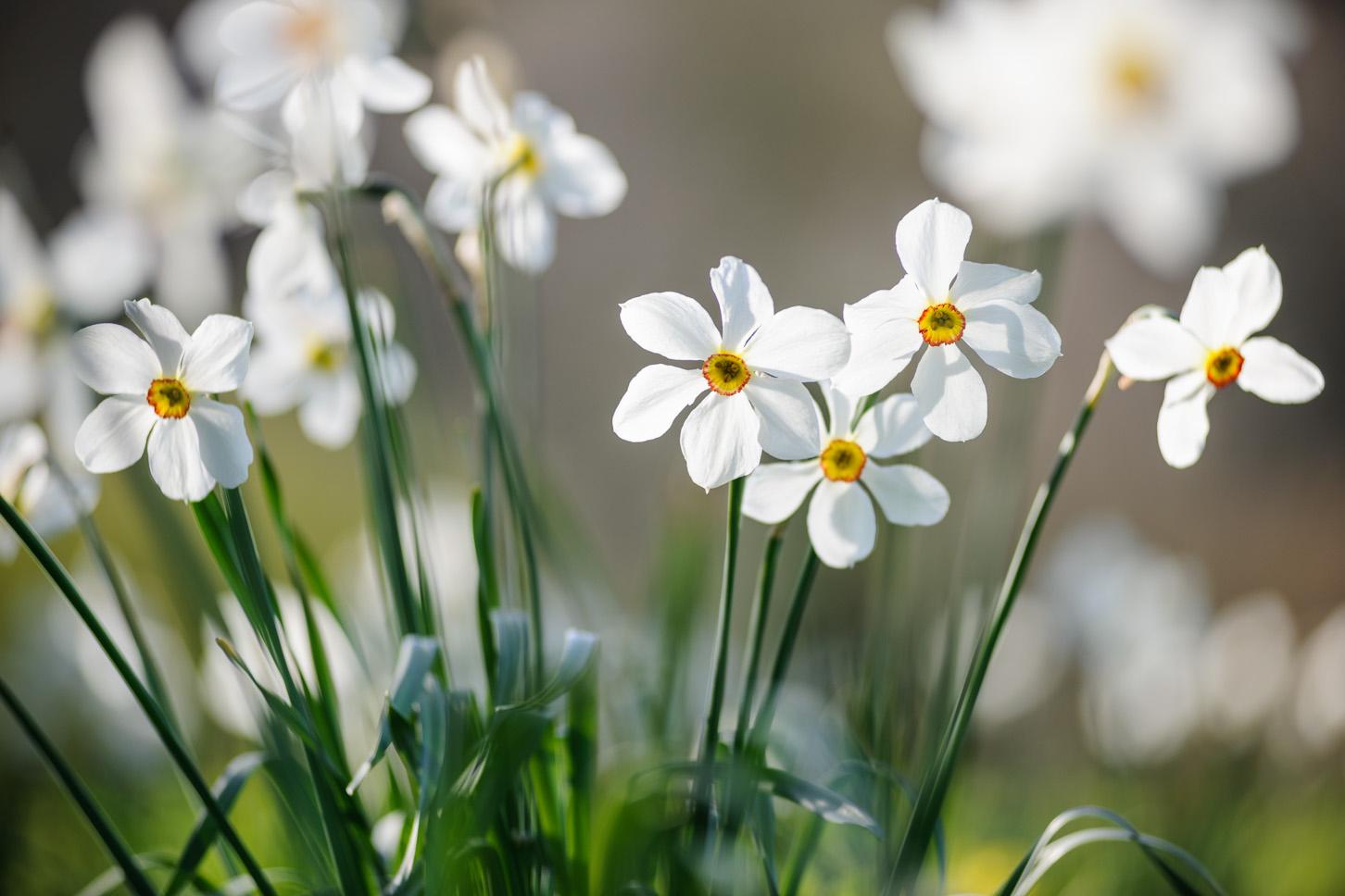 RHS Garden Rosemoor - Narcissus 'Actaea'