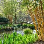 RHS Garden Rosemoor - Phyllostachys Bambusoides 'Allgold'