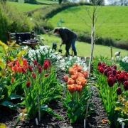 Observer Dan Pearson Shoot - Tulips